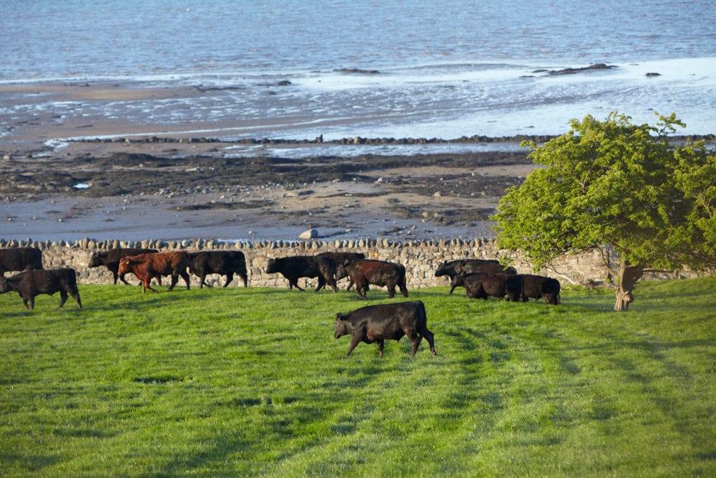 Rundvlees Black Aberdeen Angus